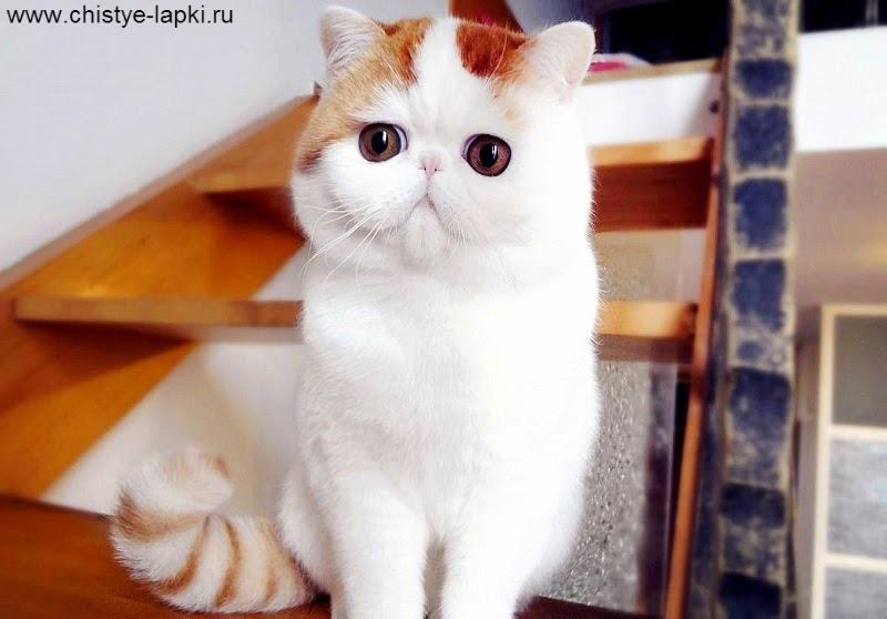 экзот кошек фото